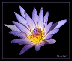 water lily (pennyeast) Tags: blue friends wild plant black flower nature photoshop southafrica botanical waterlily purple background capetown kirstenbosch edge frame plantae wildflower nymphaea indigenous extraction southafrican excellence cfr westerncape onblack nymphaeacea