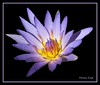 """water lily (pennyeast) Tags: blue friends wild plant black flower nature photoshop southafrica botanical waterlily purple background capetown kirstenbosch edge frame plantae wildflower nymphaea indigenous extraction southafrican excellence cfr westerncape onblack nymphaeaceae blueribbonwinner lifeasiseeit nativetosouthafrica theloveshack nymphaeacapensis superbmasterpiece citrit theperfectphotographer papaalphaecho exquisiteimage """"theloveshack"""" capebluewaterlily"""