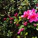 Parc de Maulévrier - Azalées roses