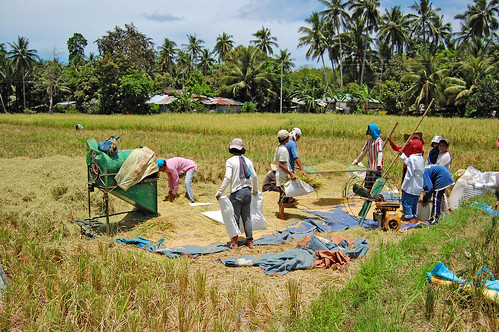 farming rice palay harvest farm farmer Pinoy Filipino Pilipino Buhay  people pictures photos life Philippinen  菲律宾  菲律賓  필리핀(공화국) Philippinesrural