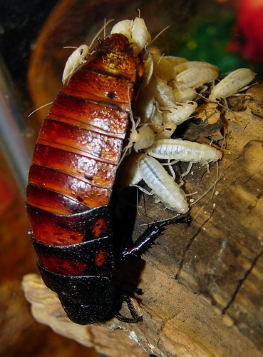 female Madagascar Hissing cockroach with juveniles