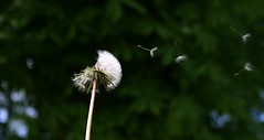 Blowing a dandelion clock (jepoirrier) Tags: flower clock wind blow dandelion taraxacum blowball officinale pappus achene