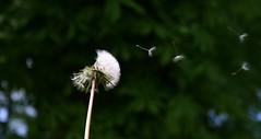 Blowing a dandelion clock (jepoirrier) Tags: flower clock wind blow dandelion taraxacum blowball officinale pappus achene