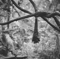 Bat at the Singapore Zoo. (ndnbrunei) Tags: blackandwhite bw 120 6x6 tlr film rollei mediumformat square singapore southeastasia kodak bat bn mf kodakbw400cn rolleicord bw400cn classicblackwhite 25faves rolleigallery ndnbrunei