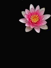 Waterlily on black (tanakawho) Tags: pink plant flower geometric nature yellow corner photoshop waterlily center pistil petal stamen pollen shape postproduction onblack tanakawho