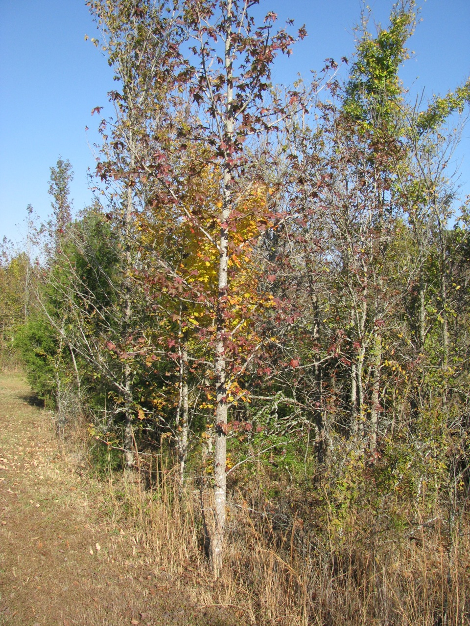 Sycamore and sweet gum