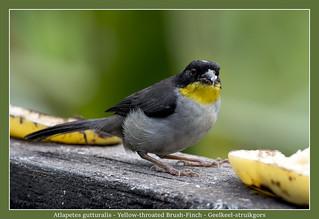 Yellow-throated brush finch
