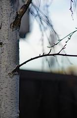 left over (fromkmr) Tags: sonya99ii trees winterscene forgotten dogwood2017 inthegarden