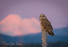 Basking in the Glow (~ Bob ~) Tags: twilight majestic sunset nature alpenglow mtbaker lastlight stanwood shortearedowl tamron nikon bird wildlife feisol raptor washingtonstate