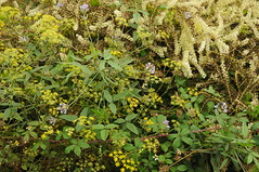 Asphaltklee (Bituminaria bituminosa), Fenchel (Foeniculum vulgare) und Madeirawein oder Basellkartoffel (Anredera cordifolia) im Anaga Gebirge, Teneriffa (5) (Chironius) Tags: spanien teneriffa spain испания españa tenerife anagagebirge blüte blossom flower fleur flor fiore blüten цветок цветение puertodelacruz caryophyllales nelkenartige rosids fabids fabales schmetterlingsblütenartige fabaceae hülsenfrüchtler faboideae schmetterlingsblütler asterids campanuliids apiales apiaceae asteriden doldenblütler doldenblütlerartige