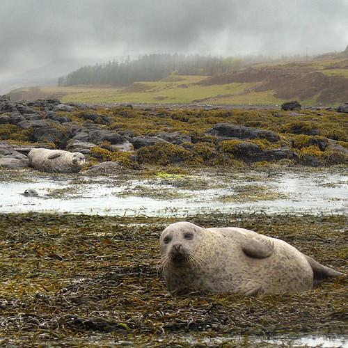 Our Dunvegan seal walk