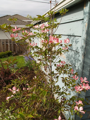 Pink flowering dogwood.