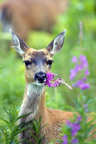 Sitka black-tailed deer munching on fireweed.