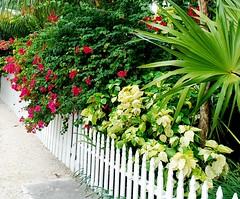 Key West (Florida) November 2010 0611b 120 (edgarandron - busy!) Tags: flowers plants flower keys florida keywest