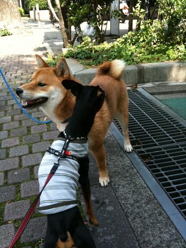 散歩なう。柴犬ちゃんと今日はお友達になれたよ。黒犬にとっては貴重ですね!