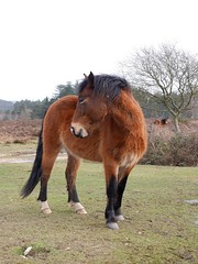 pssst (romorga) Tags: wild horse nature animal standing bay nationalpark looking hampshire pony newforest equine feral overshoulder 2014 romorga