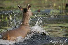 Sambar running in water (dickysingh) Tags: india outdoor deer aditya ungulate ranthambore singh ranthambhore dicky naturesfinest blueribbonwinner tigerreserve sambardeer cervusunicolor bfgreatesthits adityasingh dickysingh ranthamborebagh theranthambhorebagh wwwranthambhorecom