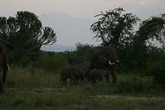 Elephant, Queen Elizabeth NP (ecoTravel Africa) Tags: safari elephants uganda 2007 queenelizabethpark