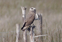Marsh Owl keeping its eye on the Booted Eagle (Pia's birdseye view) Tags: owls marshowl asiocapensis kapuggla birdsofmorocco