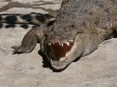 Philippine Crocodile
