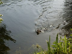 maxie swimming (wirywords) Tags: france stjean