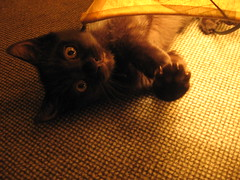 Mr Bustie (gamy) Tags: chat lille nord chaton moquette miaou bustie