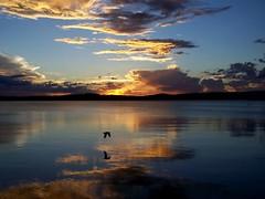 The perfect finishing touch (pominoz) Tags: sunset reflection bird newcastle flying seagull gull flight nsw hero winner hunter thumbsup lakemacquarie warnersbay ysplix photofaceoffwinner pfogold herowinner
