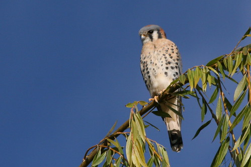 Intesity-American Kestral-IMG_2578-crop