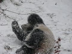 slide baby, slide           -IMG_0027 (RoxandaBear) Tags: snow december frosty tai nationalzoo paws pandas crusted taishan giantpandas 20071stsnowfall