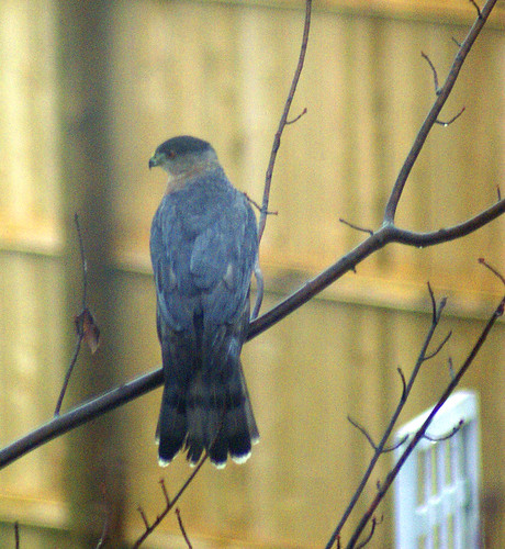 Cooper's hawk in backyard