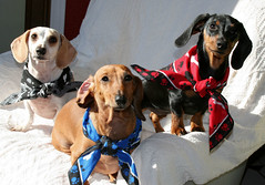 The Trio (geckoam) Tags: dog pet puppy pepper hotdog dachshund blackdog wiener mocha levi piebald bandana reddog wienerdog dackel teckel doxie whitedog aplusphoto
