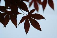 Maple leaf (Blackcatatheart) Tags: shadow sky tree leaf mapleleaf outline