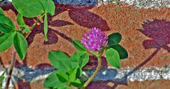 Wall Flower (Irene2727) Tags: shadow wild flower brick wall clover saveearth nikond40 proudshopper obliquemind obliquamente mimamorflowers