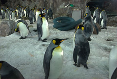 King Penguins@Kelly Tarlton's