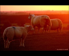 Red sheeps (Kirsten M Lentoft) Tags: sunset red denmark sheeps themoulinrouge blueribbonwinner albertslund abigfave momse2600 diamondclassphotographer herstedhøje thegardenofzen kirstenmlentoft