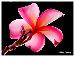 #59/08  My Lovely Flower (Ibnu Yusuf) Tags: pink flowers pond plumeria explore malaysia frangipani romantic soe feelings selangor shahalam excellence tropicalflowers h5 supershot myflower abigfave shieldofexcellence platinumphoto anawesomeshot diamondclassphotographer flickrdiamond citrit ibnuyusuf mylovelyflower