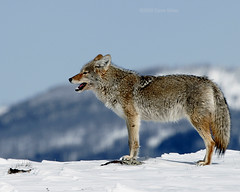 High Country Coyote - Yellowstone (Dave Stiles) Tags: coyote winter wildlife yellowstonenationalpark yellowstone stiles canislatrans specanimal animalkingdomelite platinumphoto yellowstonewildlife empyreananimals theperfectphotographer goldwildlife tup2 wintercoyote ynpwinter2008