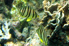 Eightband Butterflyfish on Koh Ngai Island
