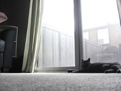 Loki sunning herself while watching a fly (jon_a_ross) Tags: cats cat hunting loki dsh graycat greycat domesticshorthair