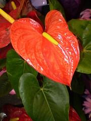 Joyce's Favorites (jnoriko) Tags: plant macro nature closeup lilyflower hawaiianlily