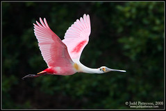 Flying Pink (Judd Patterson) Tags: pink bird birds tampabay florida flight avian roseatespoonbill stockphotography specanimal megashot juddpatterson