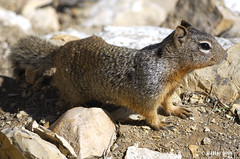Grand Canyon South RIm - Rock Squirrel (Spermophilus variegatus)