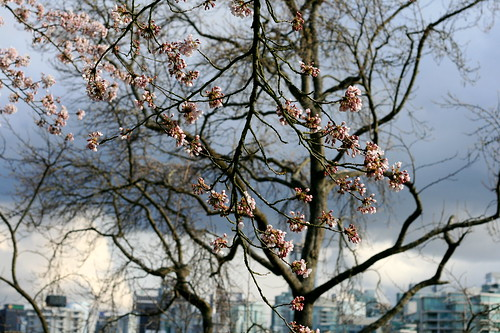 Cherry blossoms in Stanley Park