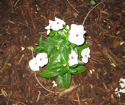 Pictures of Vinca Blooming