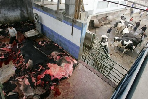 Slaughtered cow