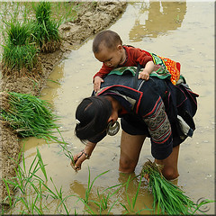 We are planting the rice now (NaPix -- (Time out)) Tags: woman asia southeastasia rice sixwordstory mother hugs karma ricepaddies motherandchild planting paddies 500x500 theworldthroughmyeyes fivestarsgallery imagepoetryimageposie napix paulocohelo ricecrisis vision100 planttherice harvestthegrain makethebread littlestorypicswithsoul hmongriceplanting