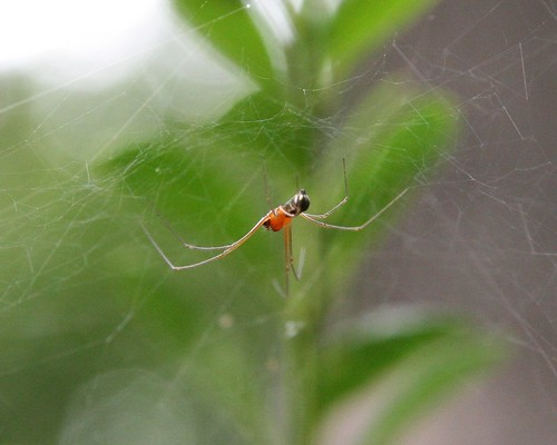 Orange and Black Spider