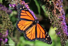 october monarch (don.white55 That's wild...) Tags: monarchdanausplexippus butterfly harrisburgpennsylvania donwhite donpwhitephotography thatswildnaturephotography canone0s7od insect wildlife animal nature colorful