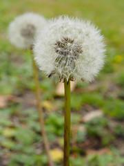 White Dandelions (mikemcnary) Tags: grass plant white dandelion fluff weed charleston southcarolina unitedstates us stem stalk flower seeds seed bokeh blur depthoffield microfourthirds olympus em1 micro43 digital
