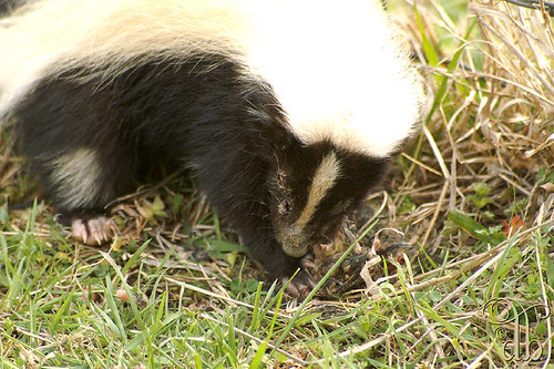 Injured Skunk